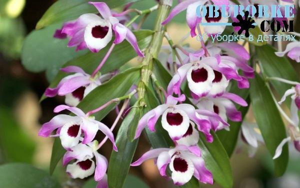 Орхідеї Дендробіум. Догляд в домашніх умовах  a6e9a5cb97e6b