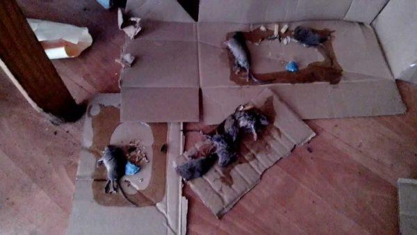 Крысы отрава своими руками 64