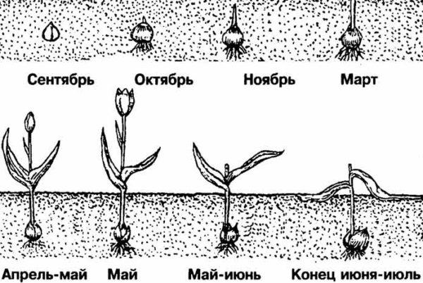 Время посадки тюльпанов осенью