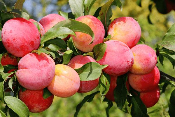Слива — опис фрукта, користь і шкоду, склад, калорійність, рецепти і секрети вирощування