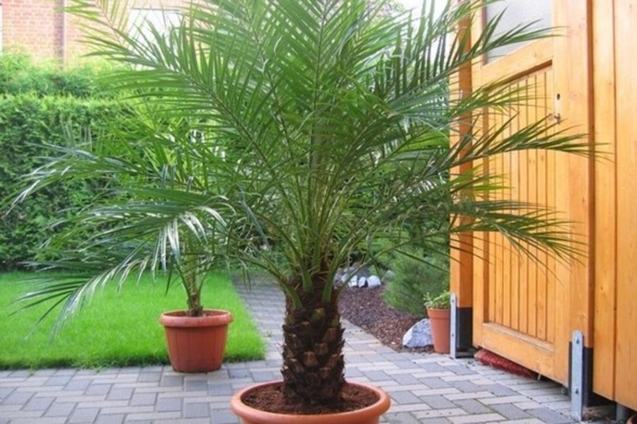 Пальма выращенная из финиковой косточки в домашних условиях 206