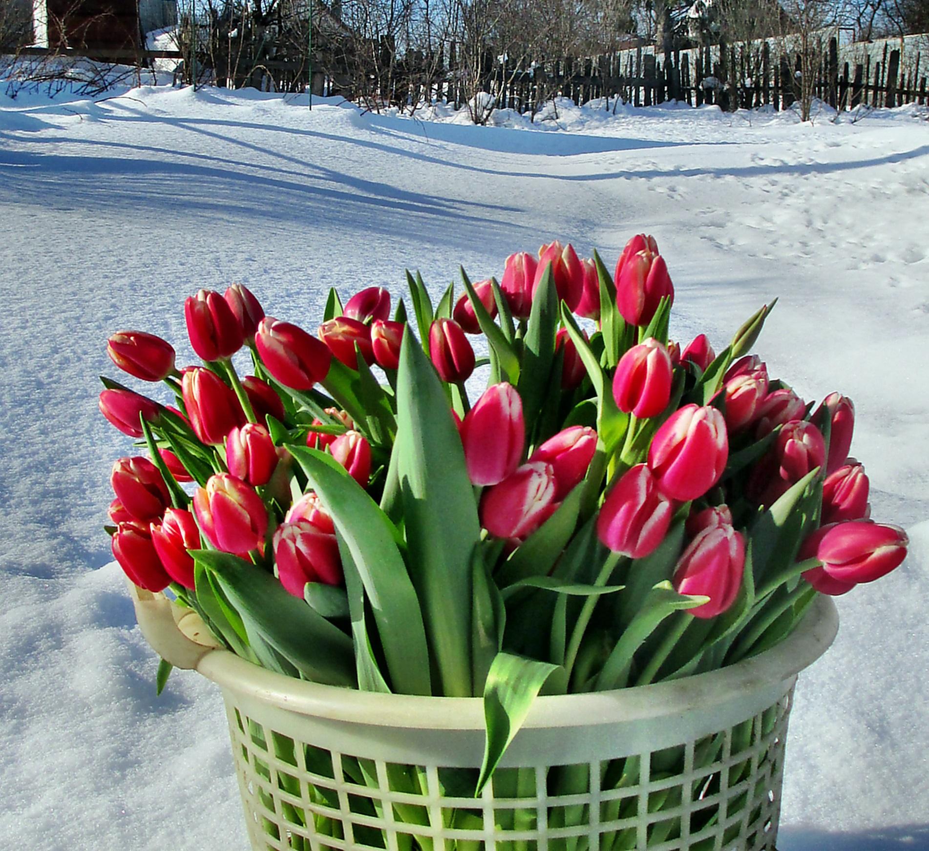 Як виростити тюльпани до 8 березня в домашніх умовах  Посадка ... 6fcd91d73d7eb