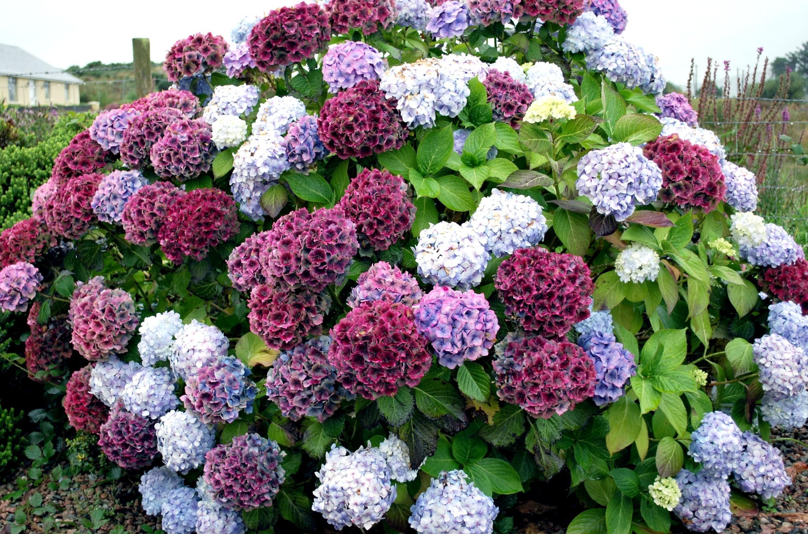 Гортензия фото цветов в саду