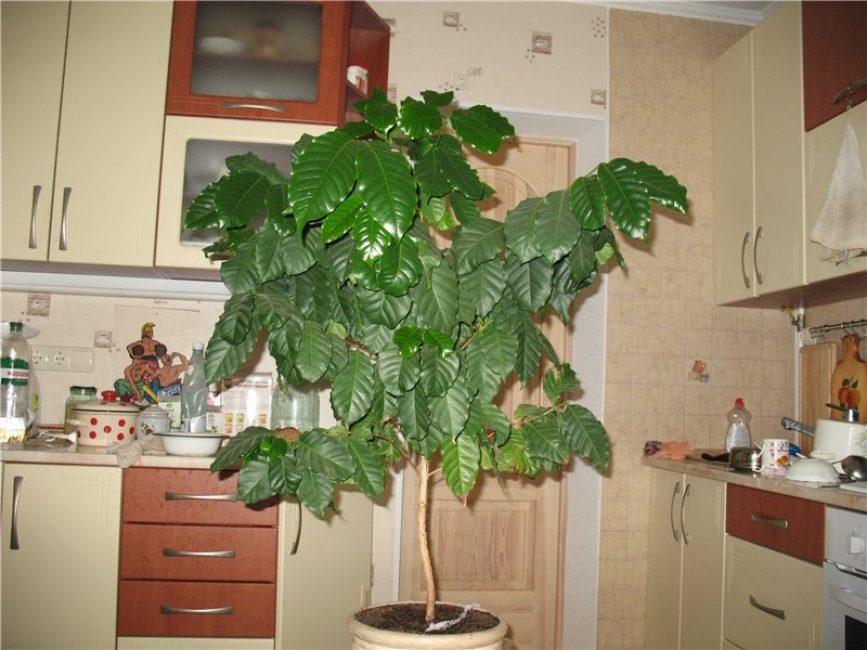Дерево кофе арабика в домашних условиях 213