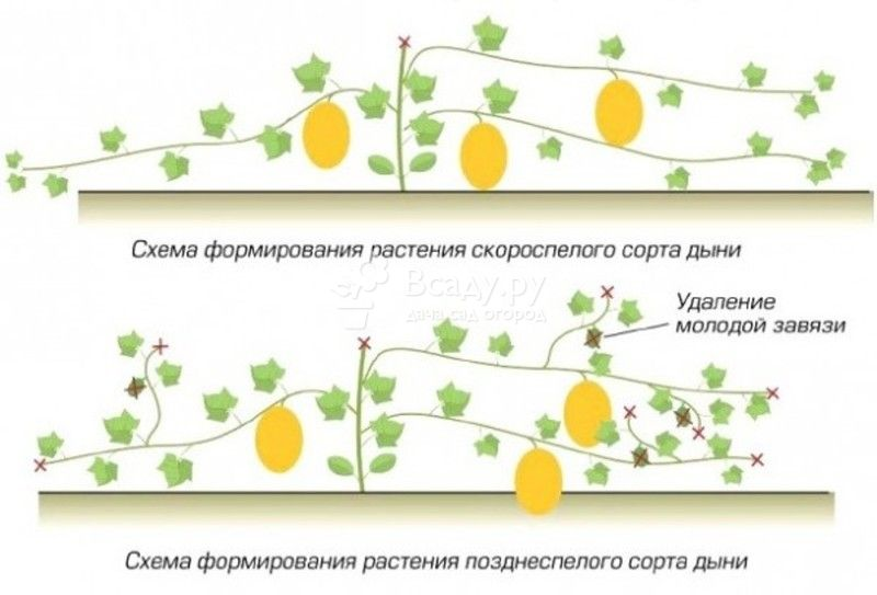 Выращивание тыквы прищипывание 19
