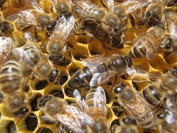Розведення бджіл для новачків  0db01b8b033a9