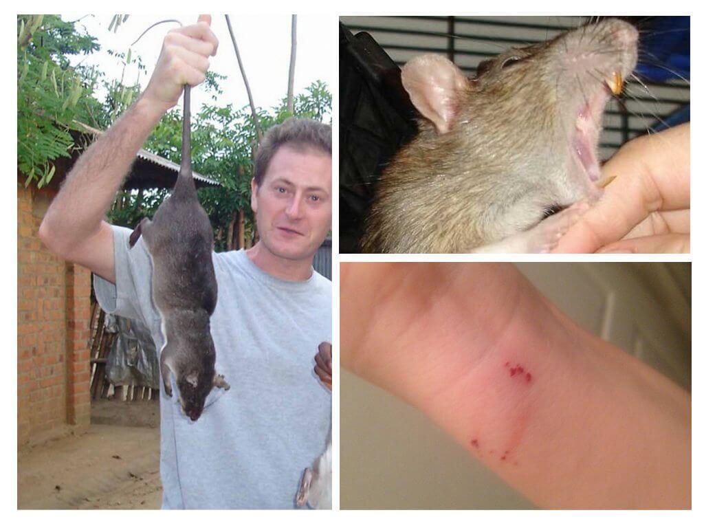 Летучая мышь во сне символизирует угрозу, укусила за руку – к потере чего-то ценного, за ногу – отложите намеченную поездку, наверняка она не будет удачной.