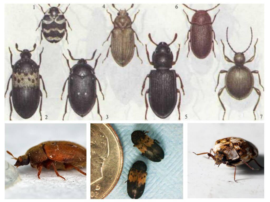 первая какие есть жучки жуки картинка страну